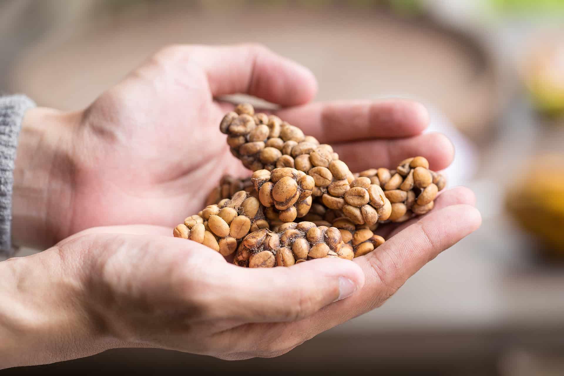 Jedna z najdroższych kaw świata: Kopi Luwak